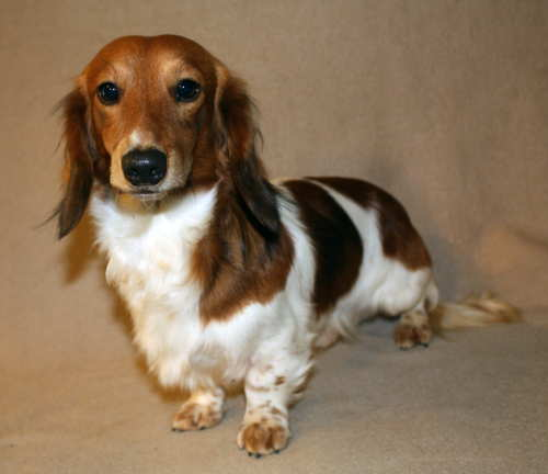 ... our weebly about the cute, energetic and clever dog... The Dachshund